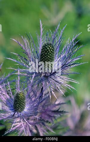 Alpine sea holly, Alpine eryngo, Queen of the alps (Eryngium alpinum), blooming, Austria - Stock Photo