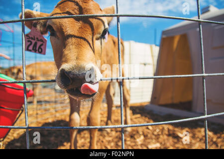 Close-up of cow on farm - Stock Photo