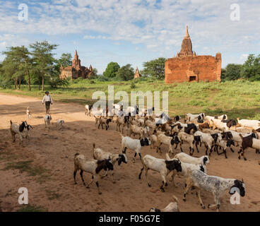 Goatherd and goats in Min Nan Thu village of Bagan, Myanmar with temples in background - Stock Photo