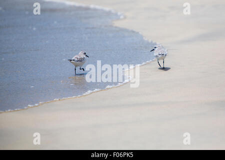 Couple of Sanderling birds walking on the beach of Isabela Island in the Galapagos, Ecuador 2015 - Stock Photo