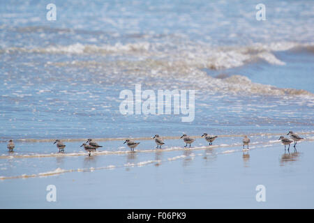 Family of Sanderling birds walking on the beach of Isabela Island in the Galapagos, Ecuador 2015 - Stock Photo