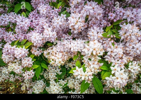 White and violet flowers on a big bush - Stock Photo
