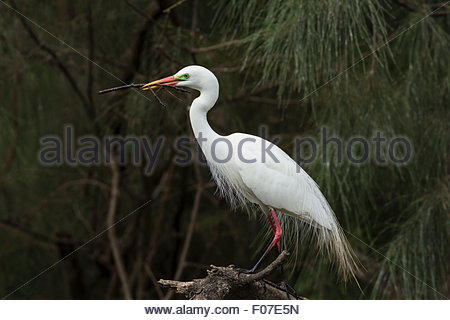 Intermediate Egret in breeding plumage with nest material. - Stock Photo