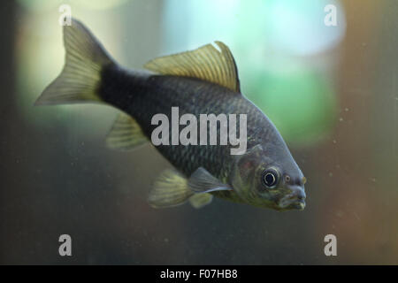 Prussian carp (Carassius gibelio), also known as the silver Prussian carp at Chomutov Zoo in Chomutov, North Bohemia, - Stock Photo