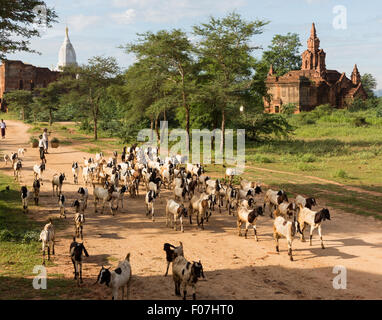 Goat herder and goats on dirt road in front of ancient pagodas in the Min Nan Thu village near Bagan, Myanmar - Stock Photo