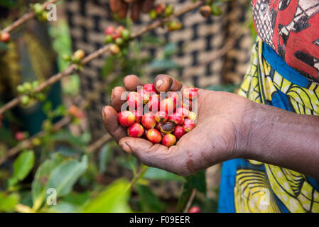 Closeup of coffee cherries on trees in Rwanda - Stock Photo