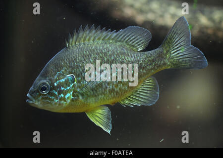 Pumpkinseed (Lepomis gibbosus) at Chomutov Zoo in Chomutov, North Bohemia, Czech Republic. - Stock Photo
