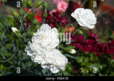 Dianthus 'Haytor White' - Stock Photo