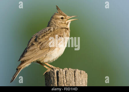 Crested lark (Galerida cristata) perched singing, Bulgaria, May 2008 - Stock Photo