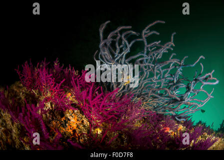Brightly colored fuschia, red and grey soft coral against black and green water, Dibba, Oman. - Stock Photo