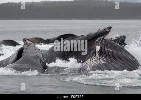 Humpback whales bubblenet feeding off the SE coast of Alaska - Stock Photo