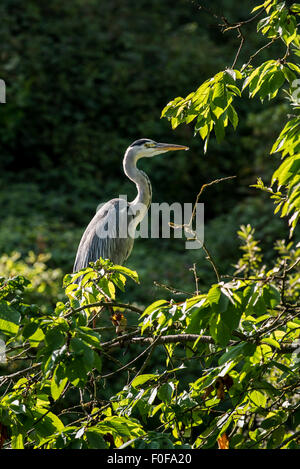 Grey heron (Ardea cinerea) perched in tree - Stock Photo