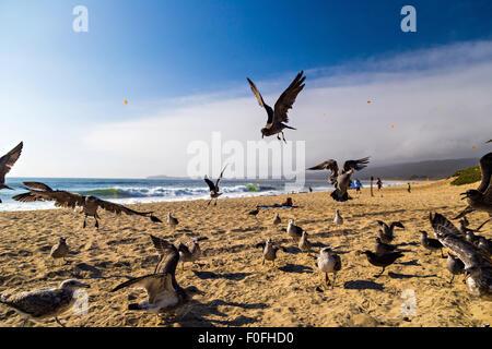 Seagulls feeding mid-air on the beach in Half Moon Bay in California, USA - Stock Photo