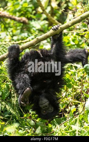 Infant mountain gorilla hanging on tree upside down Volcanoes National Park Rwanda Africa - Stock Photo
