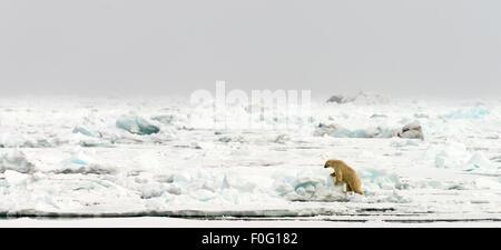 Polar bear walking on pack ice Svalbard Spitsbergen Norway Arctic Circle Scandinavia - Stock Photo