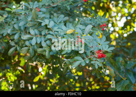 Fruits (berry) of Schinus terebinthifolius, Brazilian pepper, aroeira, rose pepper, Christmasberry tree. Selective - Stock Photo