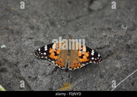 Painted lady Cynthia cardui at rest on stone - Stock Photo