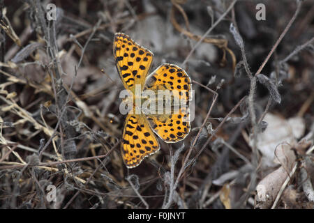Queen of spain fritillary Issoria lathonia  at rest amongst plant stalks - Stock Photo