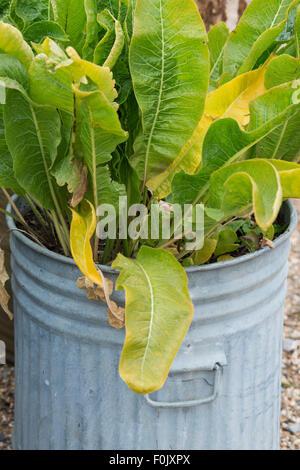 Armoracia rusticana. Horseradish plants growing in a dustbin - Stock Photo