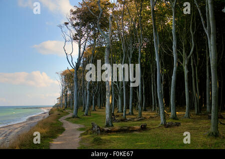Beech forest, mind wood, ghost wood, at the baltic sea at nienhagen, Mecklenburg-Western Pomerania, germany, europe - Stock Photo