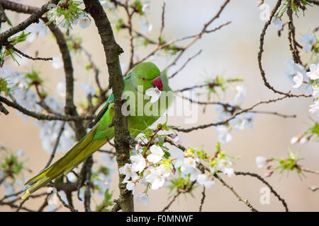 Ring Necked Parakeet in Blossom Tree - Stock Photo