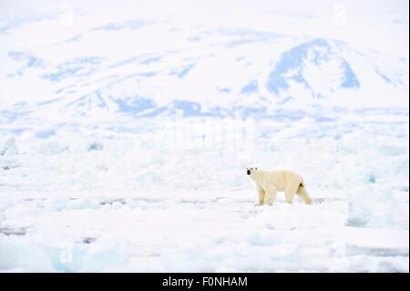 Polar Bear (Ursus maritimus) adult, walking on melting icefloe, floe edge, with Bylot island behind, Baffin Bay, - Stock Photo
