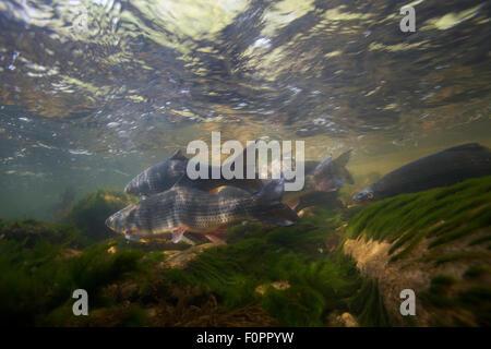 Nase (Chondrostoma nasus) on spawning ground, Trême, Saane river tributary, Canton of Fribourg, Switzerland, May - Stock Photo