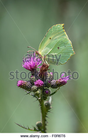 The common brimstone butterfly - Gonepteryx rhamni - Stock Photo