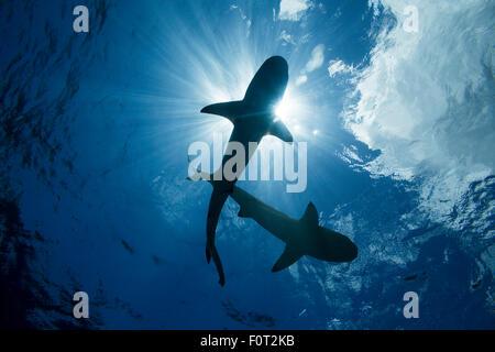 Blacktip reef sharks, Carcharhinus melanopterus, Yap, Micronesia. - Stock Photo