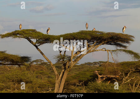 Maribou Storks form a Gentleman's Club on the top of an Acacia Treee - Stock Photo