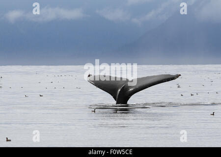 Humpback Whale tail flukes in Frederick Sound, Alaska - Stock Photo