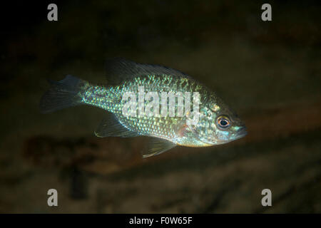 Pumpkinseed sunfish (Lepomis gibbosus) invasive species, Danube Delta, Romania, June. - Stock Photo