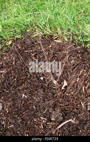 A newly planted Ptelea trifoliata mulch with composted bark in a lawn - Stock Photo