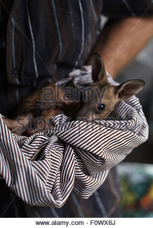 A wallaby joey wrapped in a blanket, being taken by a WIRES wildlife carer to be treated and rehabilitated; after - Stock Photo