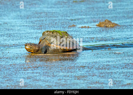 Common Snapping Turtle Moving through Muddy Marsh - Stock Photo