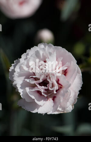 Dianthus 'Cranmere Pool' - Stock Photo