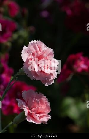 Pink Dianthus 'Doris' - Stock Photo