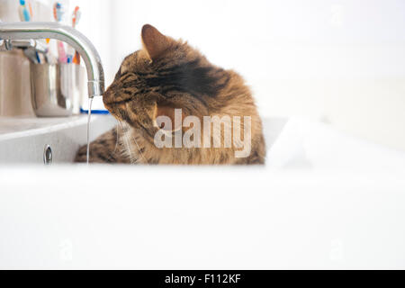 A munchkin breed of cat lies in a bathroom sink drinking from the dripping tap - Stock Photo