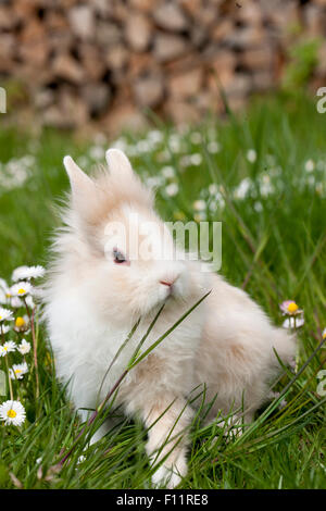 Dwarf Rabbit, Lionhead Rabbit eating grass - Stock Photo
