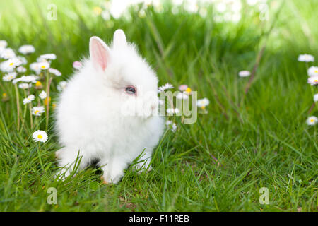 Dwarf Rabbit, Lionhead Rabbit White young grass Daisies - Stock Photo