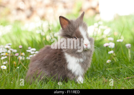 Dwarf Rabbit, Lionhead Rabbit Young grass Daisies - Stock Photo