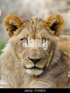 A portrait of a young lion roughly 1 year old. - Stock Photo