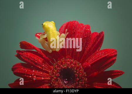 Rear view of a miniature frog sitting on a gerbera flower - Stock Photo