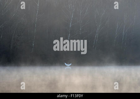 Great egret (Ardea alba) on misty lake with wings outstretched, Vosges, France, March. - Stock Photo