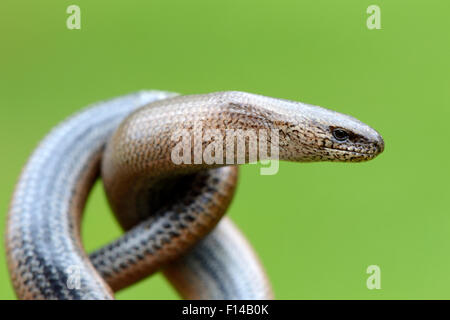 Close-up of Slow worm (Anguis fragilis) with its body coiled, Alsace, France, May. - Stock Photo