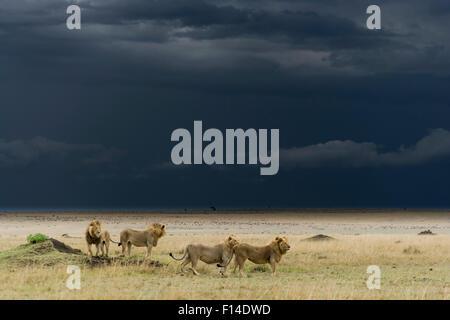 Coalition of male Lions (Panthera leo) in grassland before storm, Masai-Mara game reserve, Kenya. - Stock Photo