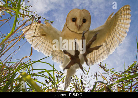 Barn Owl (Tyto alba) hunting/hovering, Somerset, UK, trained bird. - Stock Photo