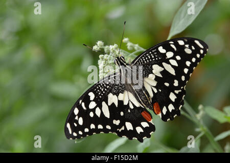 Common Lime butterfly, Lemon butterfly, Lime swallowtail, Papilio demoleus - Stock Photo