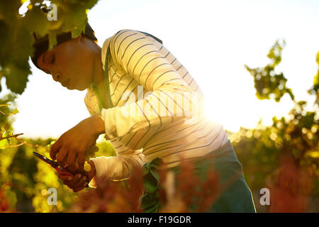 Young woman cutting green grapes from vine during autumn harvest. Female worker harvesting grapes in vineyard. - Stock Photo