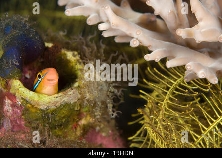 px510165-D. Bluestriped (or Tube-worm) Blenny (Plagiotremus rhynorhynchus). Indonesia, tropical Pacific Ocean. Photo - Stock Photo